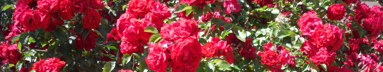 Albuquerque Rose Society